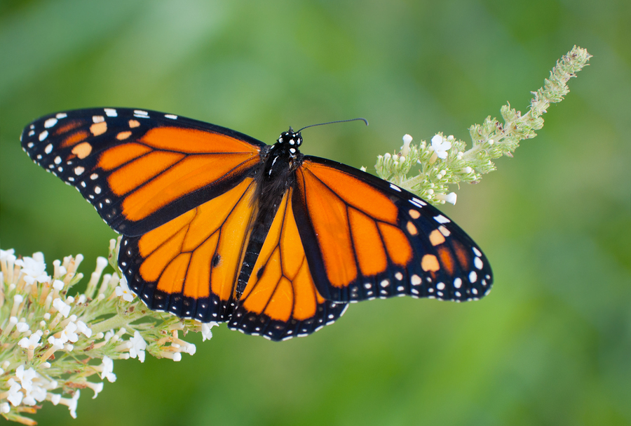 Meet the butterflies that live in Santa Barbara