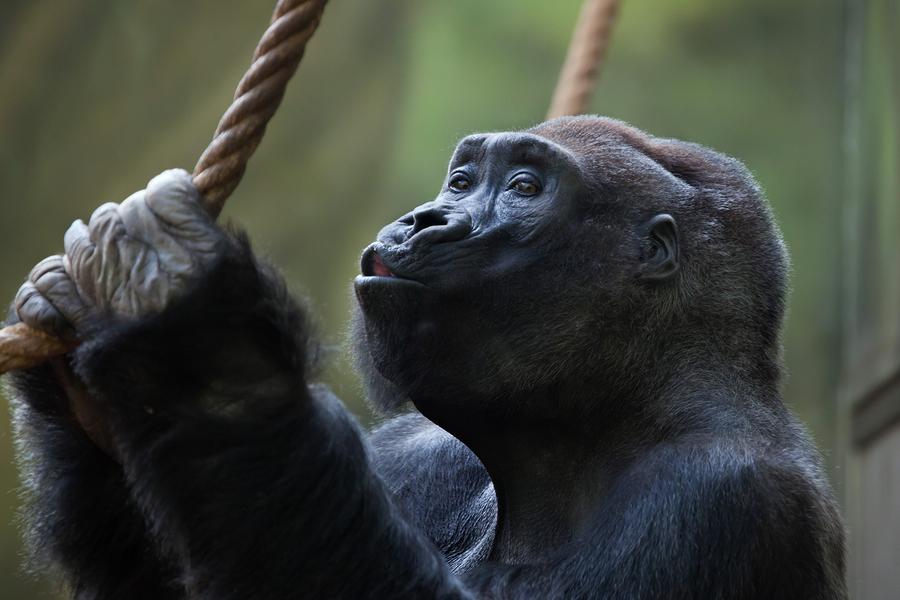 Meet the gorillas who call Santa Barbara home.