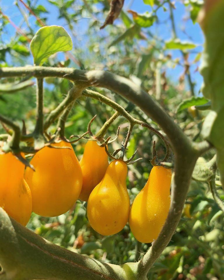 Tomato U-Pick