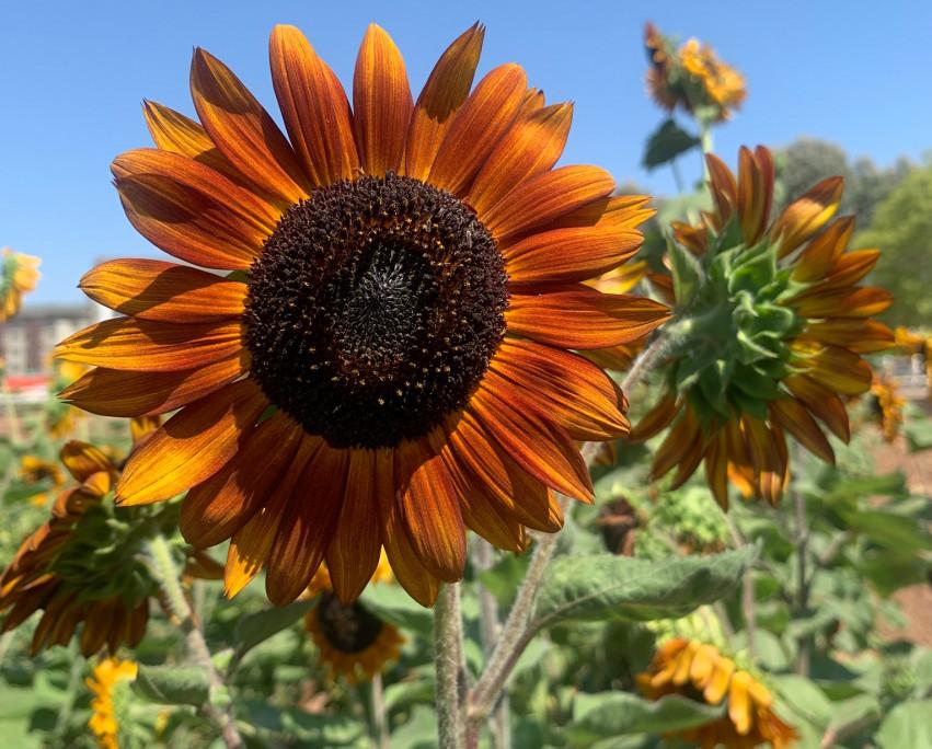 Sunflower U Pick