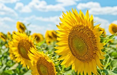 Sunflowers on Long Island- Festivals, Fields, Mazes & More!