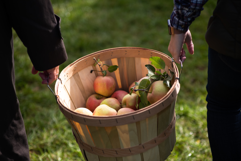 Long Island Local Apple Picking