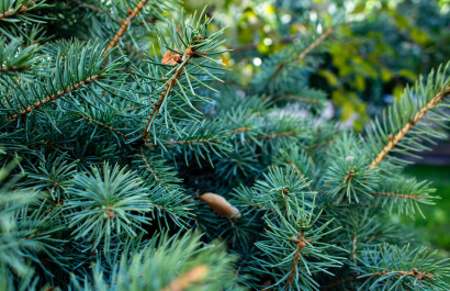 Christmas Tree Farms in Lancaster County