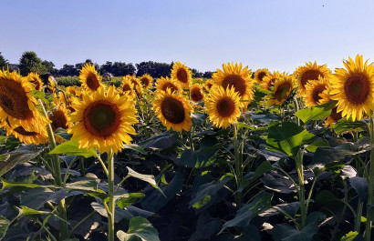 Sunflowers abloom in Chester County
