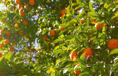 Appeals Court: State Should Pay for Cutting Citrus Trees