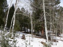 Pine Land