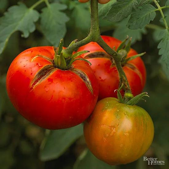 Tomato 'Moskvich'